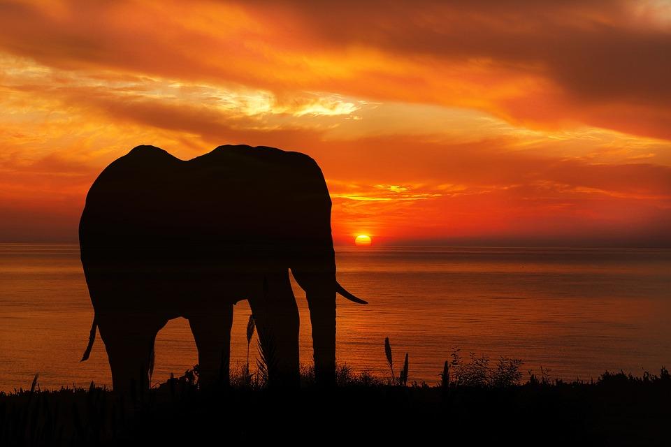 elephant walk into the sunset